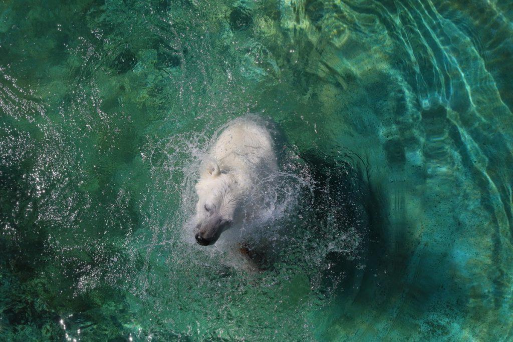 Белая медведица Аяна насладилась утренней прохладой