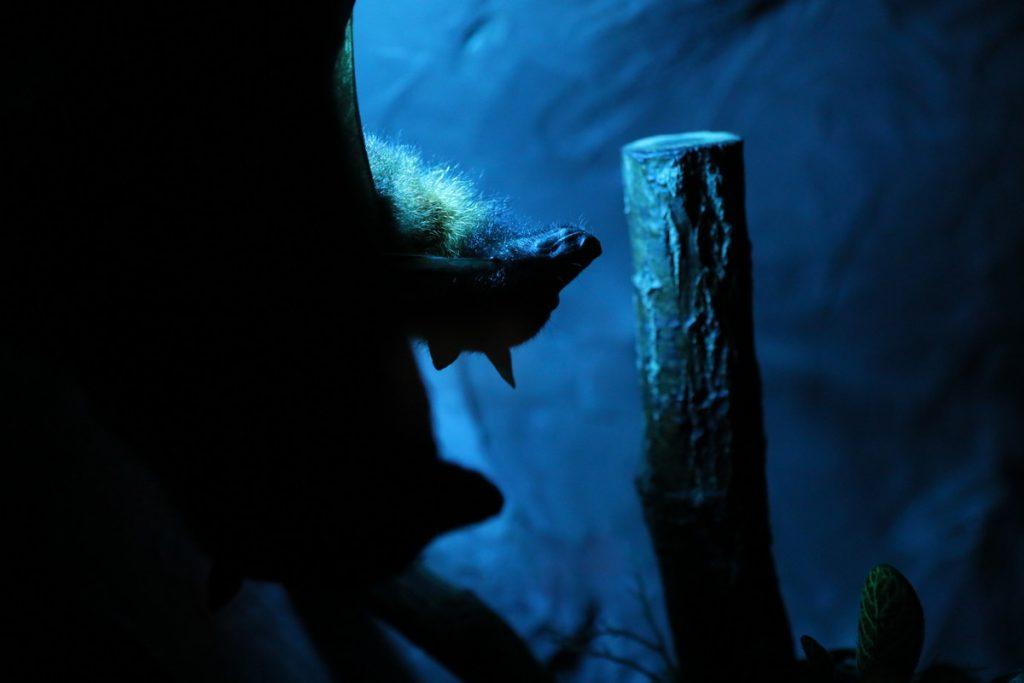лимпопо летучая мышь ночной мир