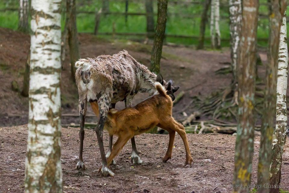 В Керженский заповедник привезут северных оленей