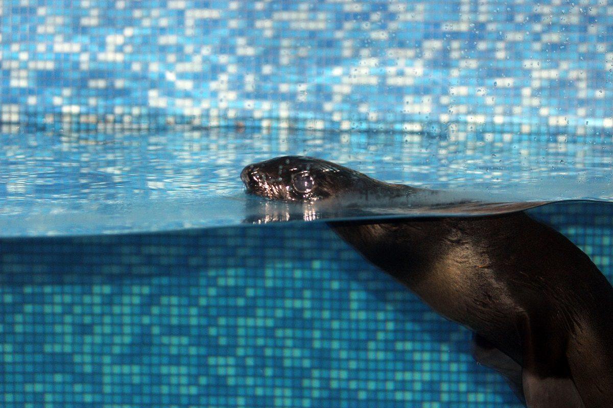 В «Лимпопо» пополнение: малыш морского котика поселился в зоопарке