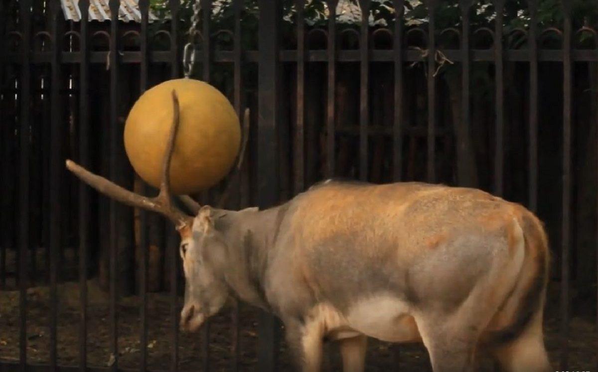 Олень из «Лимпопо» играет в мяч