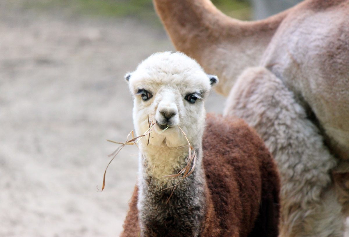 Дочь Пушкина и Поли: Нижегородцы выбрали имя новорожденной альпаке из зоопарка «Лимпопо»