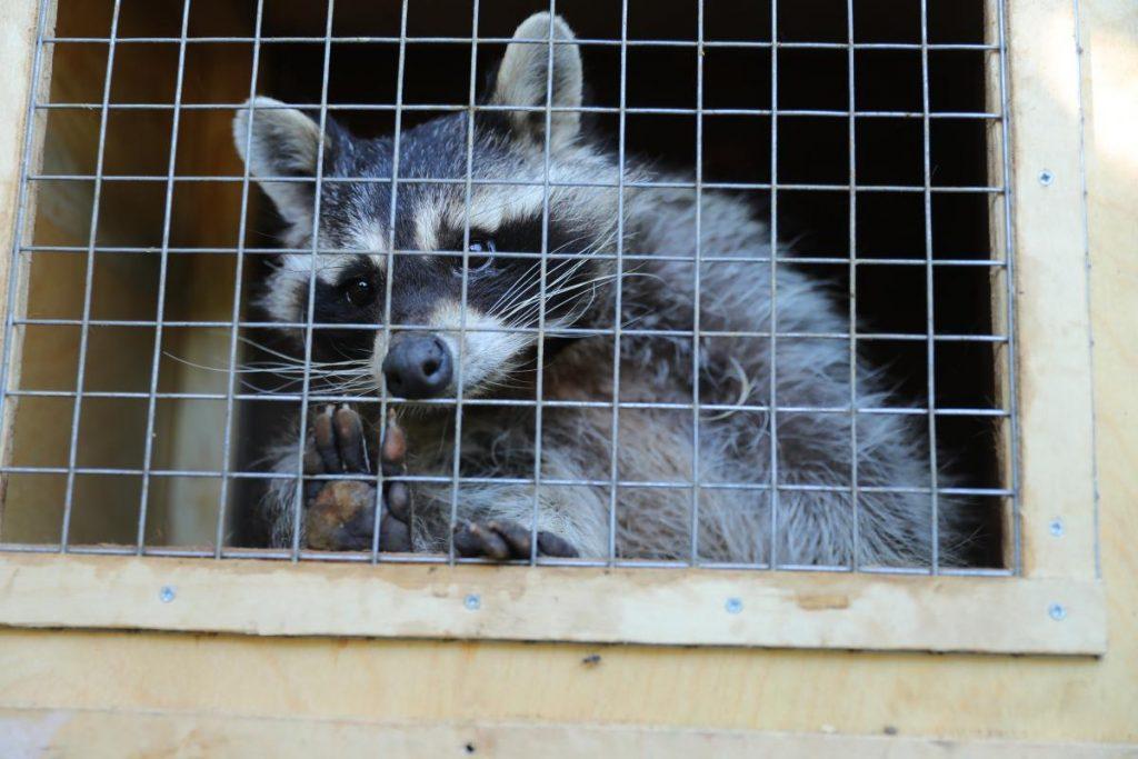 Еноты из зоопарка «Мишутка» переезжают в Балахну