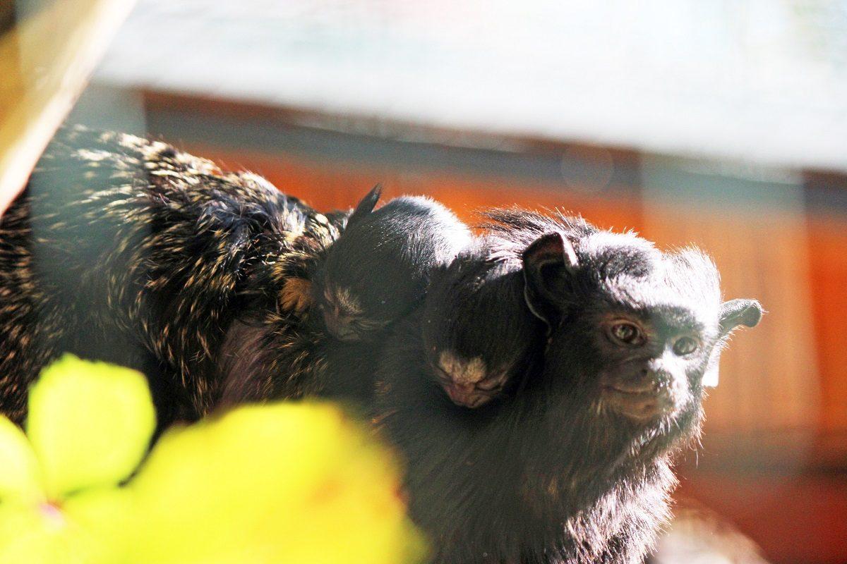 Малыши тамарины родились в зоопарке «Лимпопо»