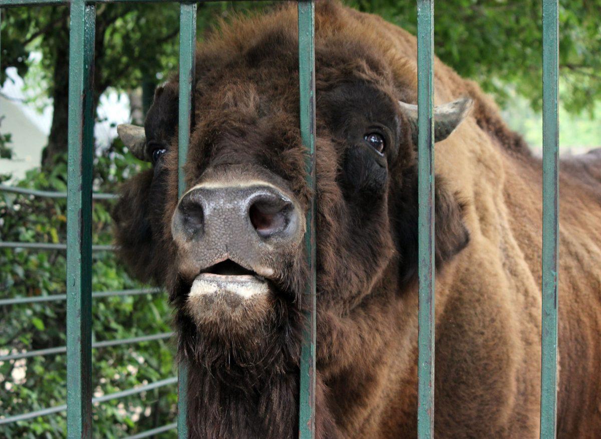 Зубр Мурат из зоопарка «Лимпопо» отметил день рождения