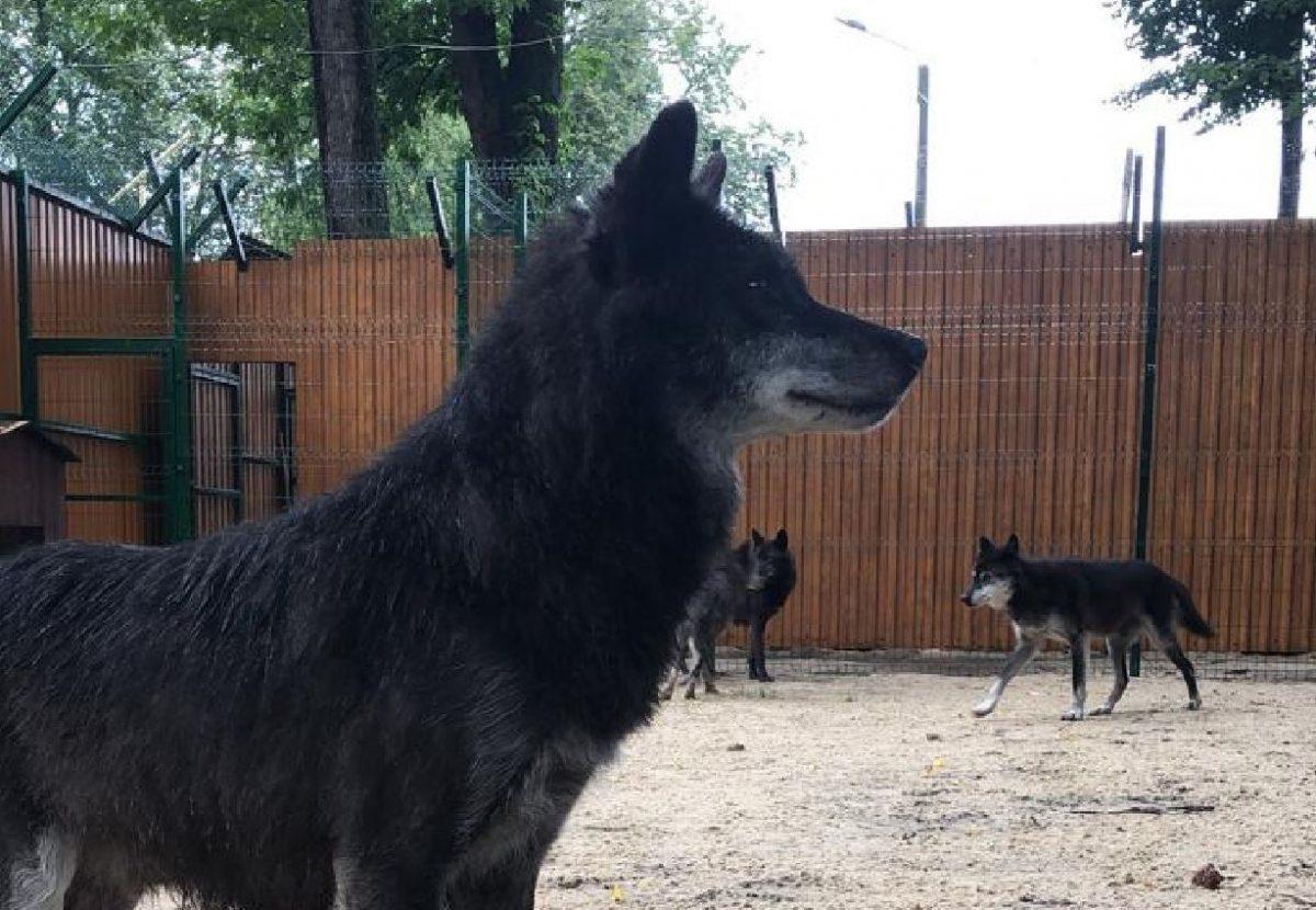 Волки из зоопарка «Мишутка» переехали в Балахну