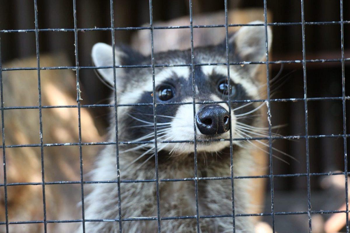 Еноты из нижегородского зоопарка «Мишутка» чувствуют себя хорошо в новом доме в Балахне