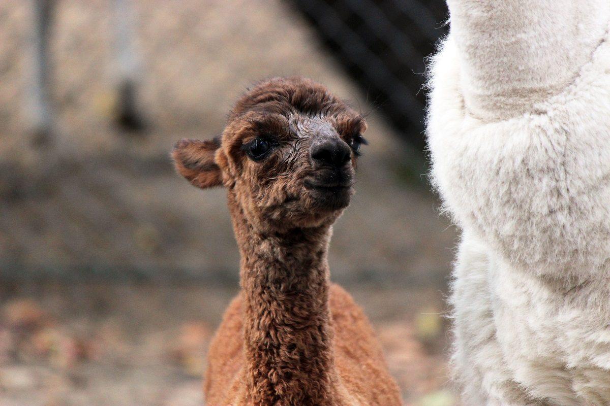 В семье альпак из зоопарка «Лимпопо» пополнение