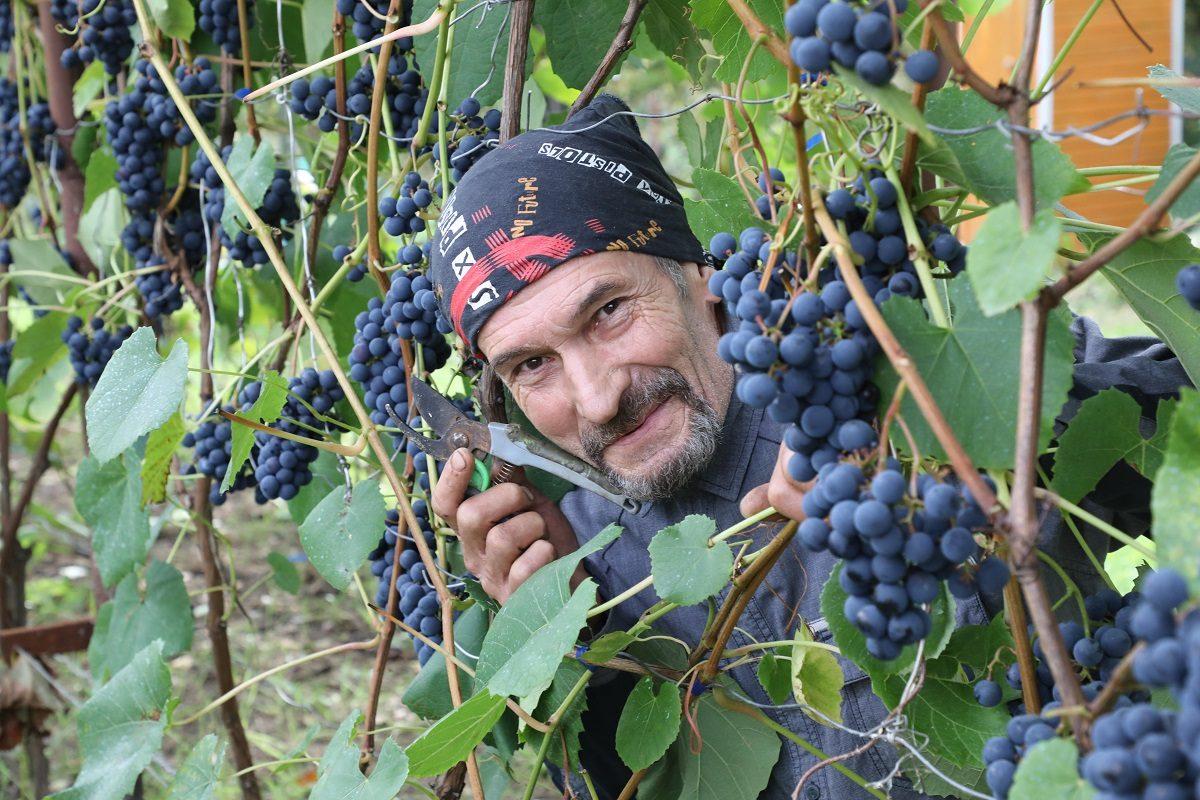Каждый рад, если вырос виноград: нижегородец рассказал, как разбить виноградник удома