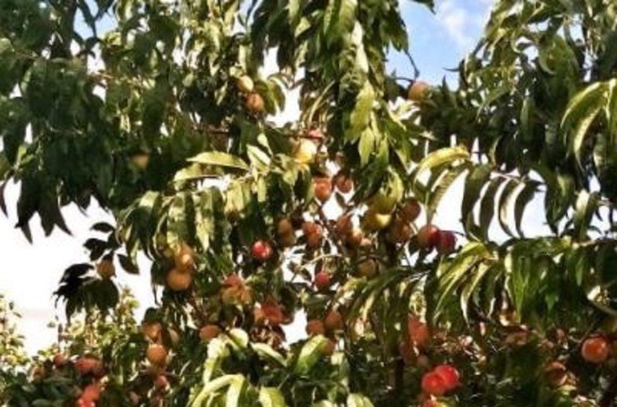 Нижегородцы похвастались урожаем персиков