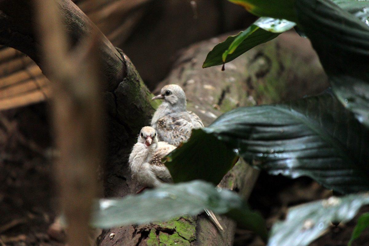 Птенцы бриллиантовой горлицы родились в зоопарке «Лимпопо»