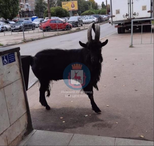 «Кого-нибудь на рога посадит»: нижегородцы встретили козла около метро