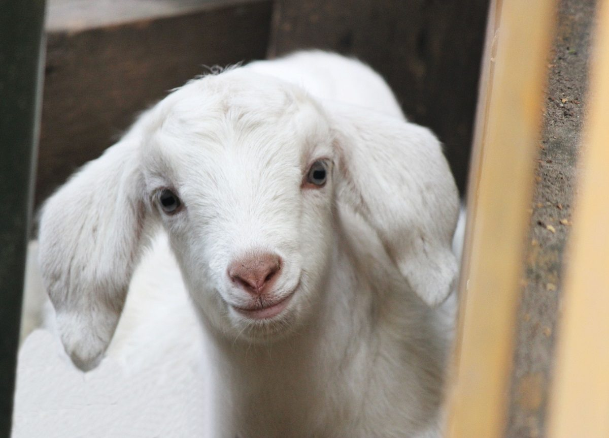 Белые козлята появились на свет в зоопарке «Лимпопо»