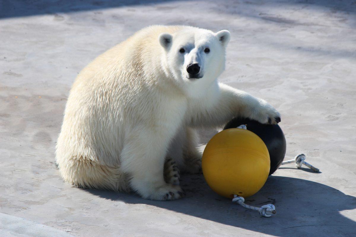Белой медведице подарили новые игрушки в нижегородском зоопарке
