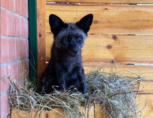 11-летняя лисица из зоопарка «Мишутка», переехавшая в Балахну, чувствует себя хорошо