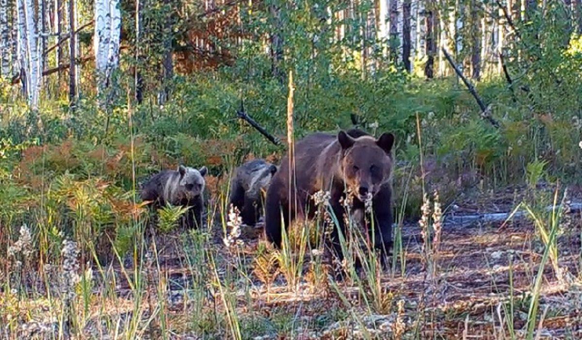 Фото дня: семейство медведей зафиксировала фотоловушка в Керженском заповеднике