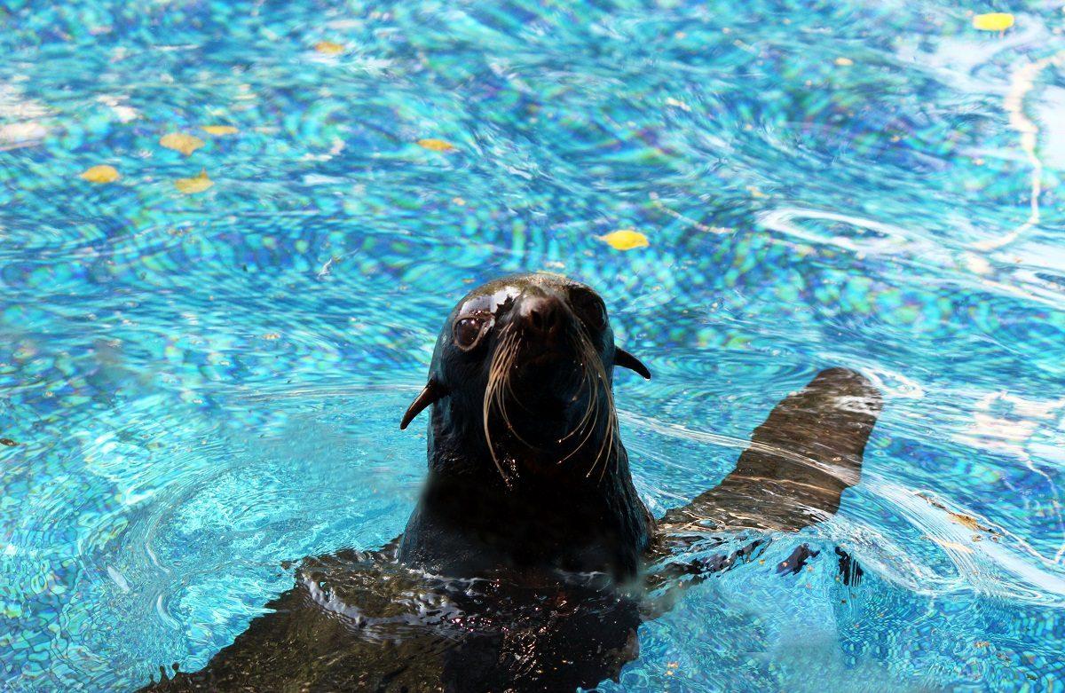 Самка морского котика поселилась в зоопарке «Лимпопо»