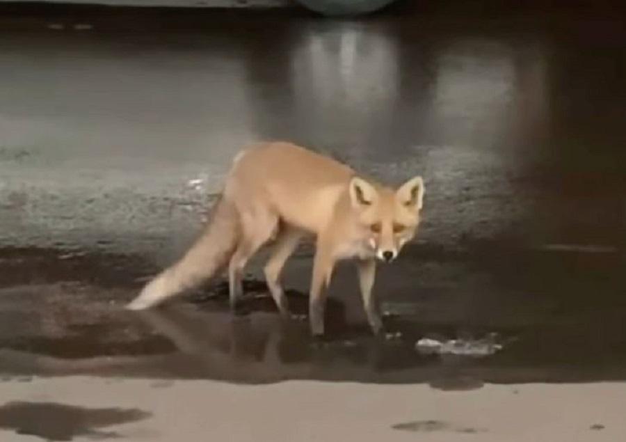Видео дня: местные жители опять заметили лису в микрорайоне «Цветы»