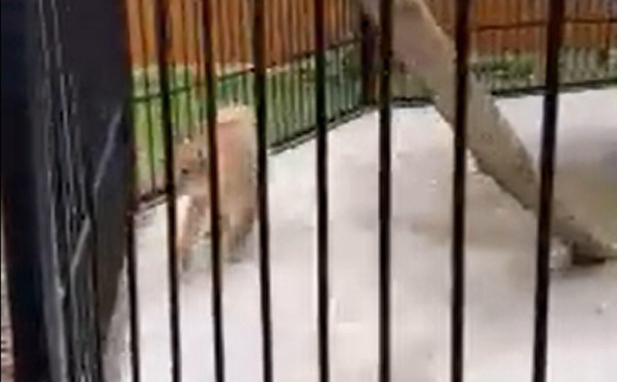Рысь Гоша из «Мишутки» обживается в балахнинском зоопарке