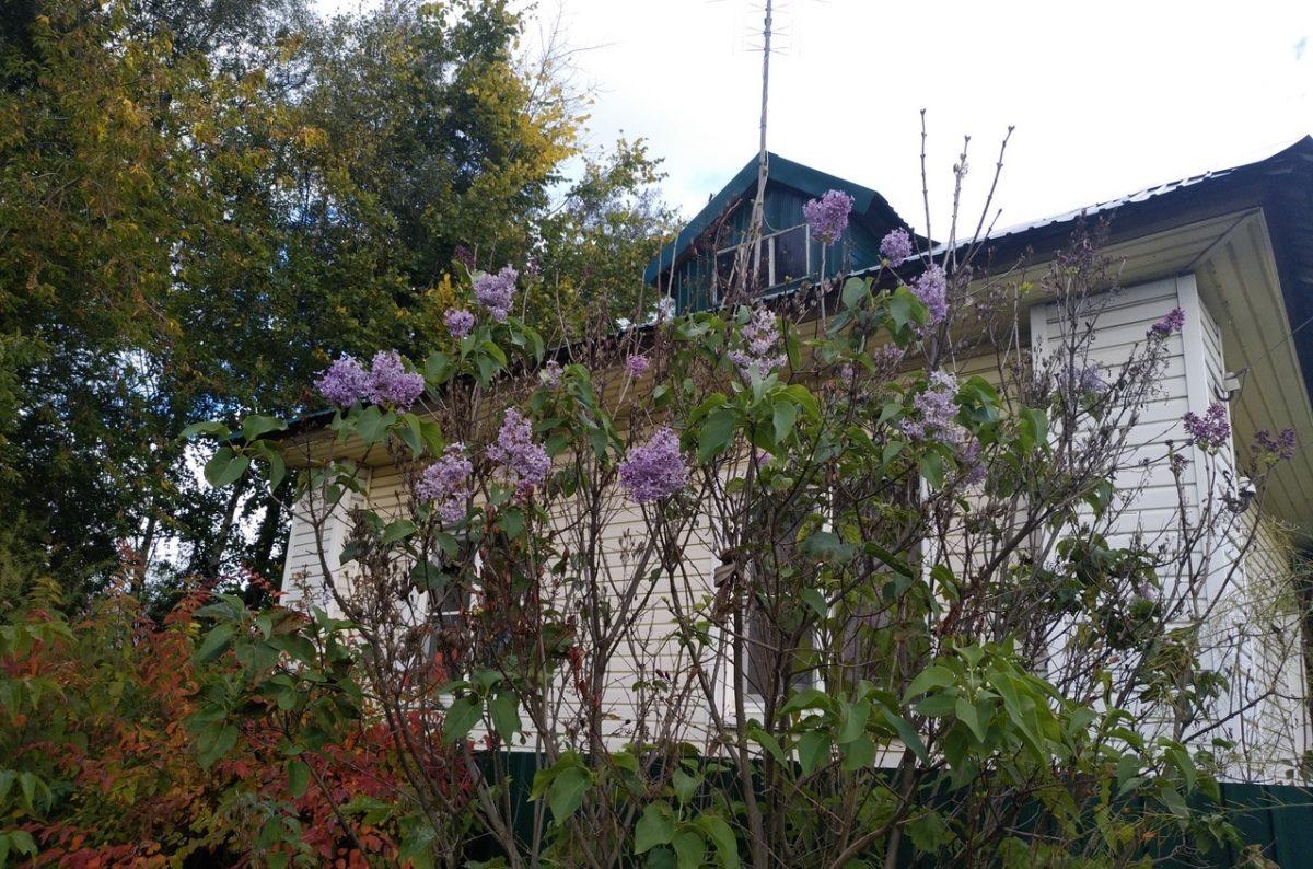 Сирень зацвела в сентябре в посёлке Шаранга