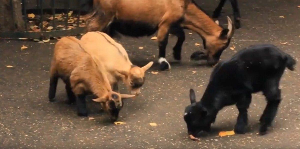 В семье козликов из зоопарка «Лимпопо» пополнение