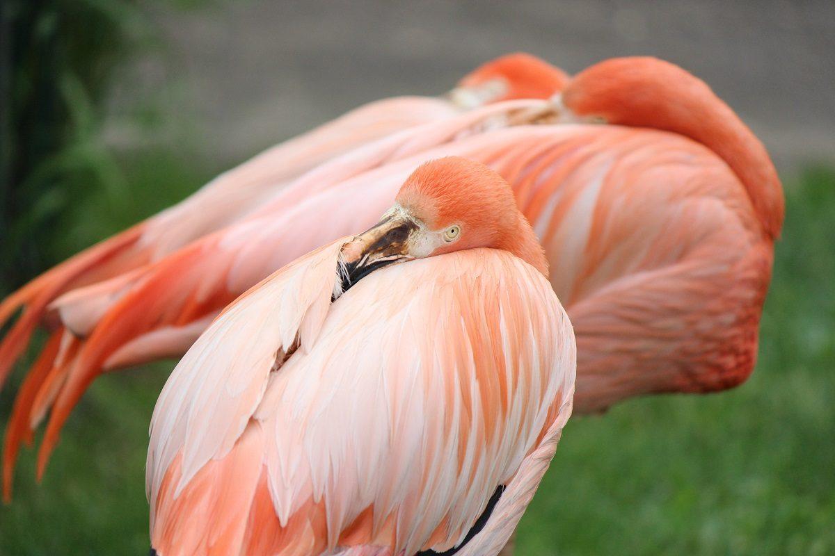 Фото дня: в зоопарке «Лимпопо» рассказали о серых фламинго, которые стали розовыми
