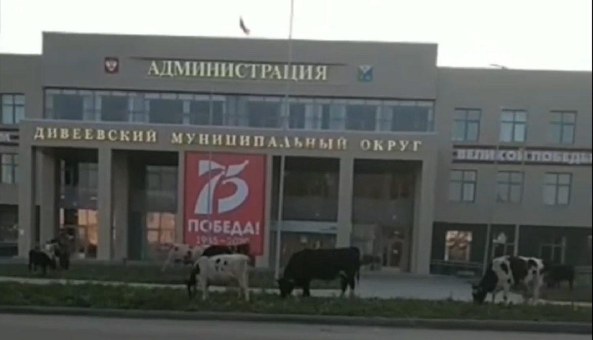 Дивеевские коровы вышли попастись около местной администрации