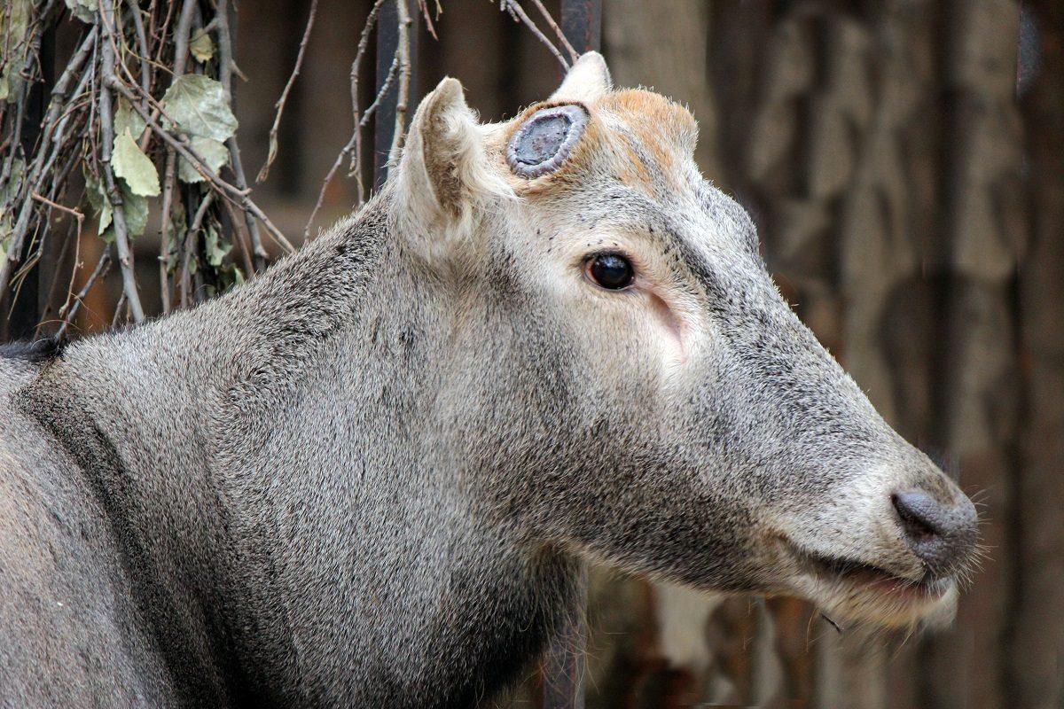 В зоопарке «Лимпопо» олень Давида сбросил рога второй раз за год