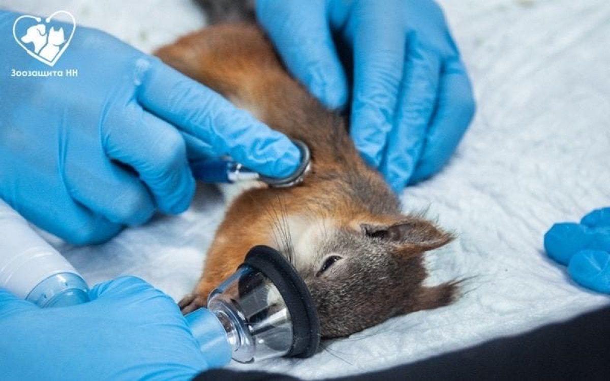 Нижегородские ветеринары спасли бельчонка