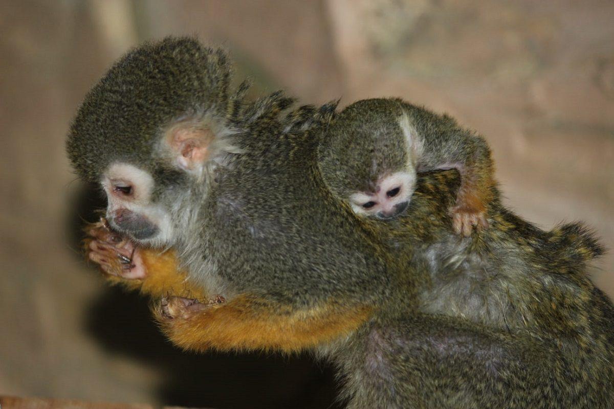 В «Лимпопо» пополнение: малыш саймири родился в зоопарке