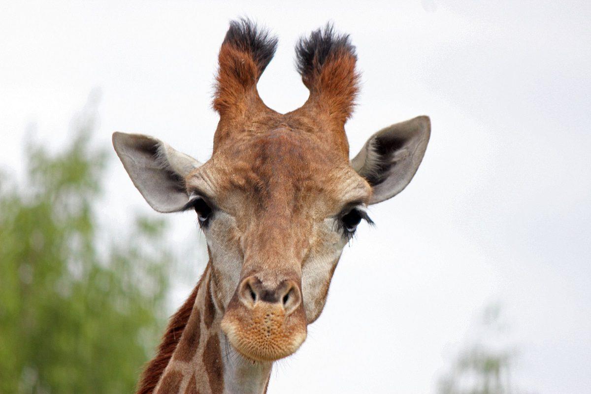 В зоопарке «Лимпопо» отпраздновали День рождения жирафы Радуги