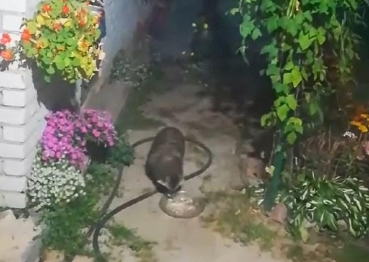 Видео дня: дикая енотовидная собака забежала на ужин к жителям Сормовского района