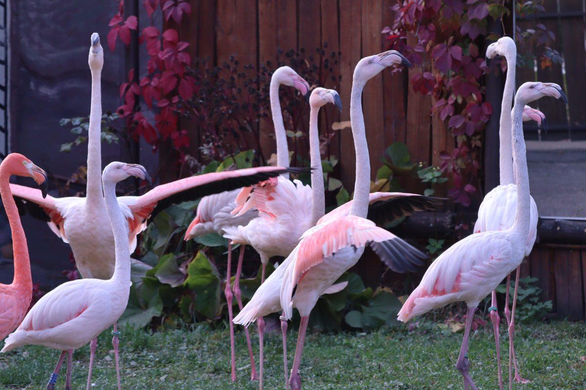 Спасенные фламинго адаптировались в нижегородском зоопарке