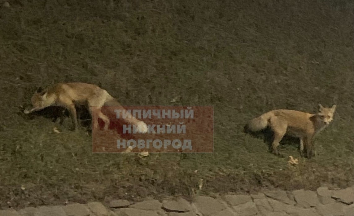 «Кремлевская» лиса нашла себе подружку