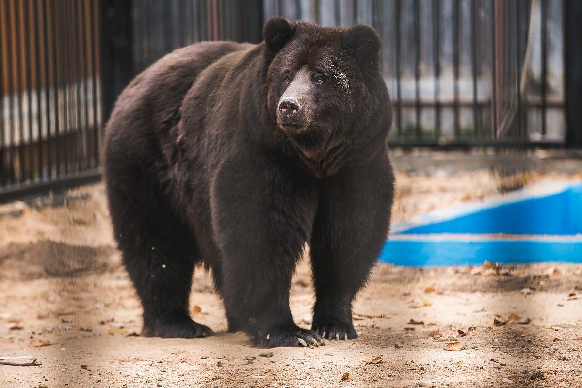 Два медвежонка появились на свет в балахнинском зоопарке