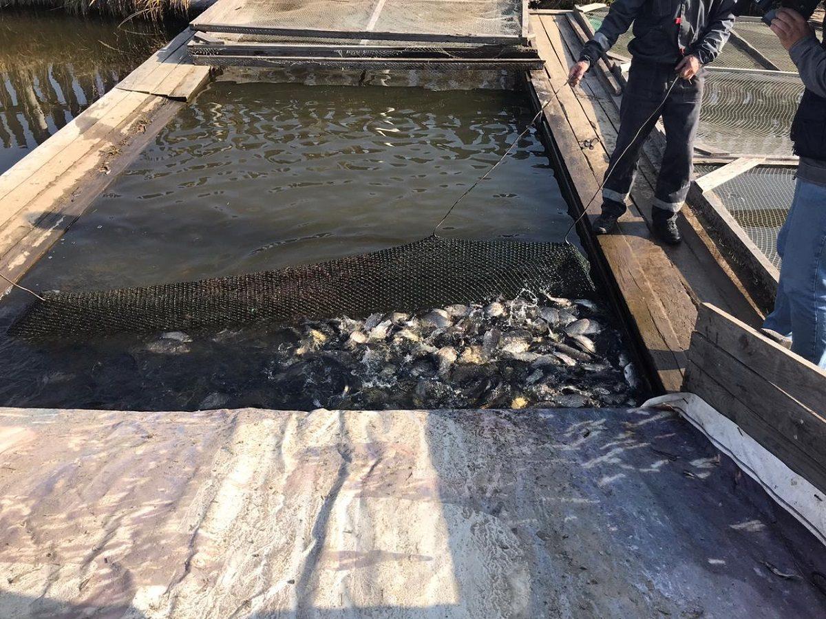 Около 700 тонн рыбы планируют вырастить нижегородские рыбхозы в2020 году