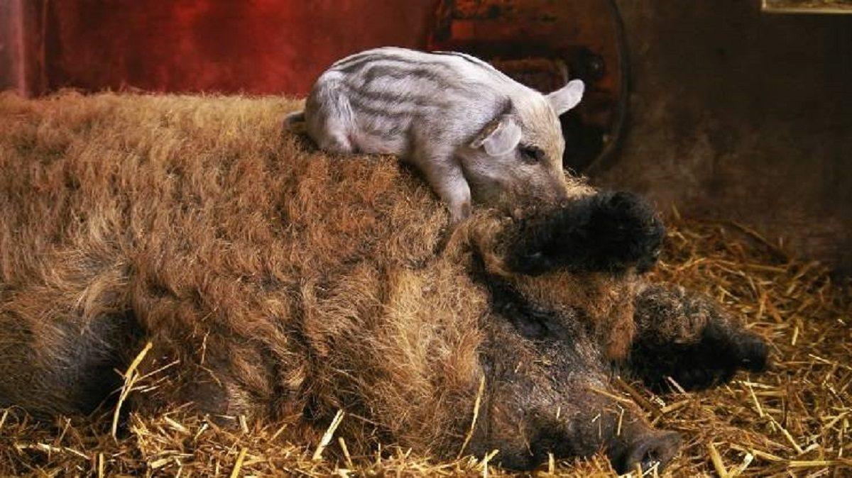 Венгерская мангалица: как правильно содержать домашнюю свинку