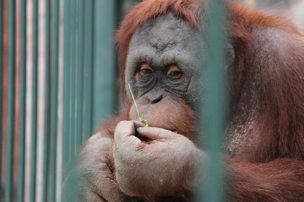 В «Лимпопо» отметили день рождения орангутана