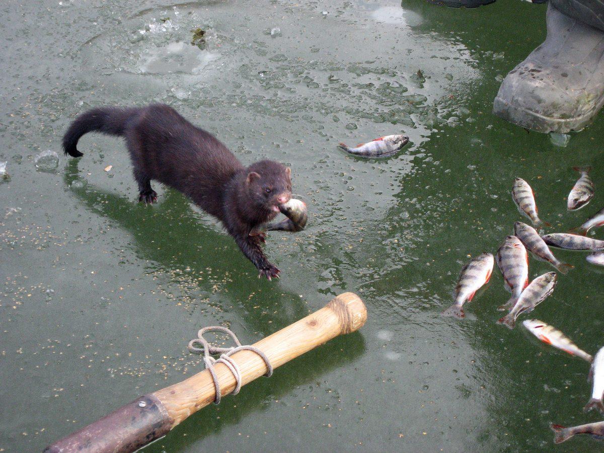 В Нижегородской области открылся сезон охоты на пушных животных