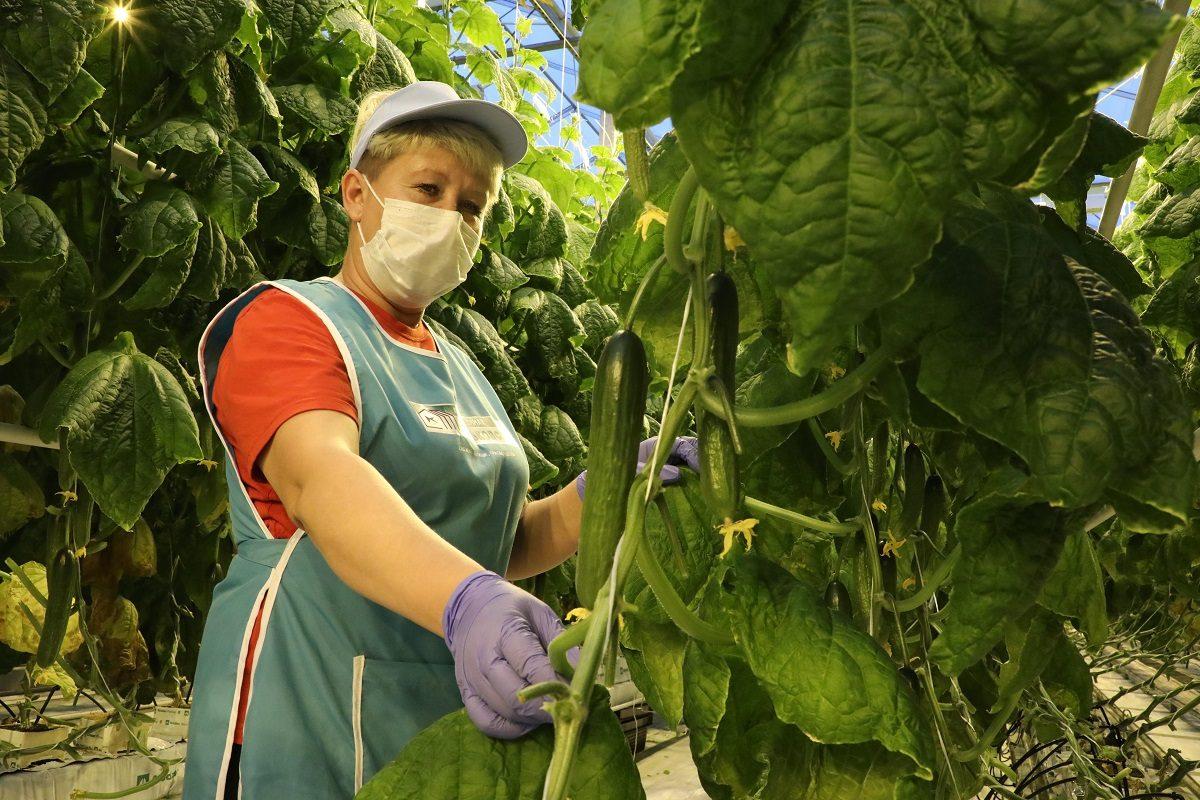 Первый урожай огурцов, выращенных под искусственным светом, сняли в агрокомбинате «Горьковский»