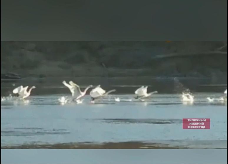 Лебеди искупались в ветлужском озере
