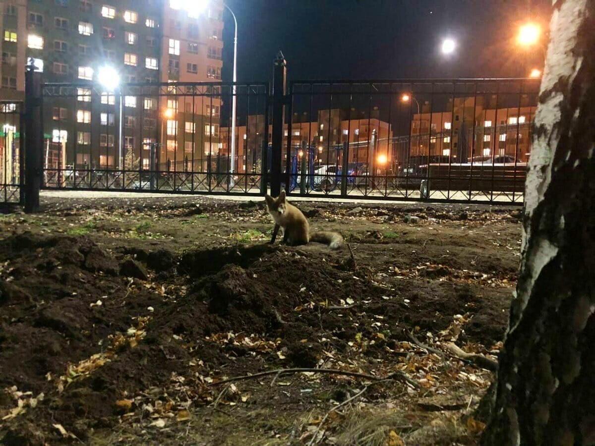 Лисичка прогулялась по проспекту Гагарина