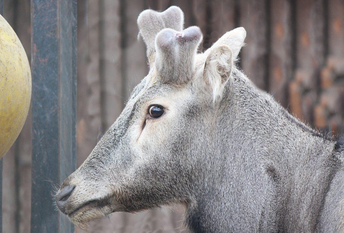 Фото дня: у оленя Давида из зоопарка «Лимпопо» начали расти новые рожки