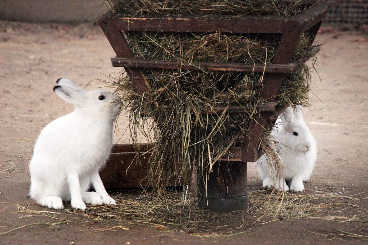 Фото дня: зайцы в зоопарке «Лимпопо» подготовились к зиме