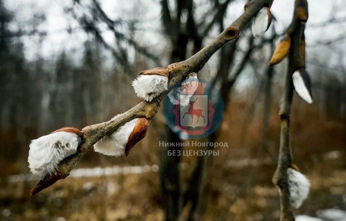 В Автозаводском районе Нижнего Новгорода расцвела верба