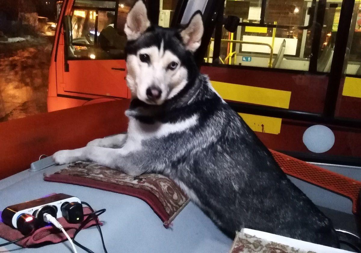 Собака-кондуктор поселилась в маршрутке №24 в Нижнем Новгороде
