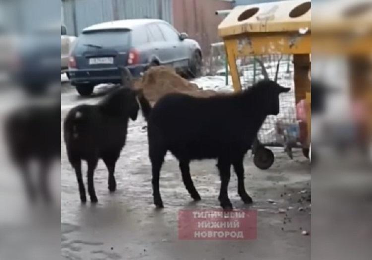 Козлы прогулялись по улице Снежной в Ленинском районе