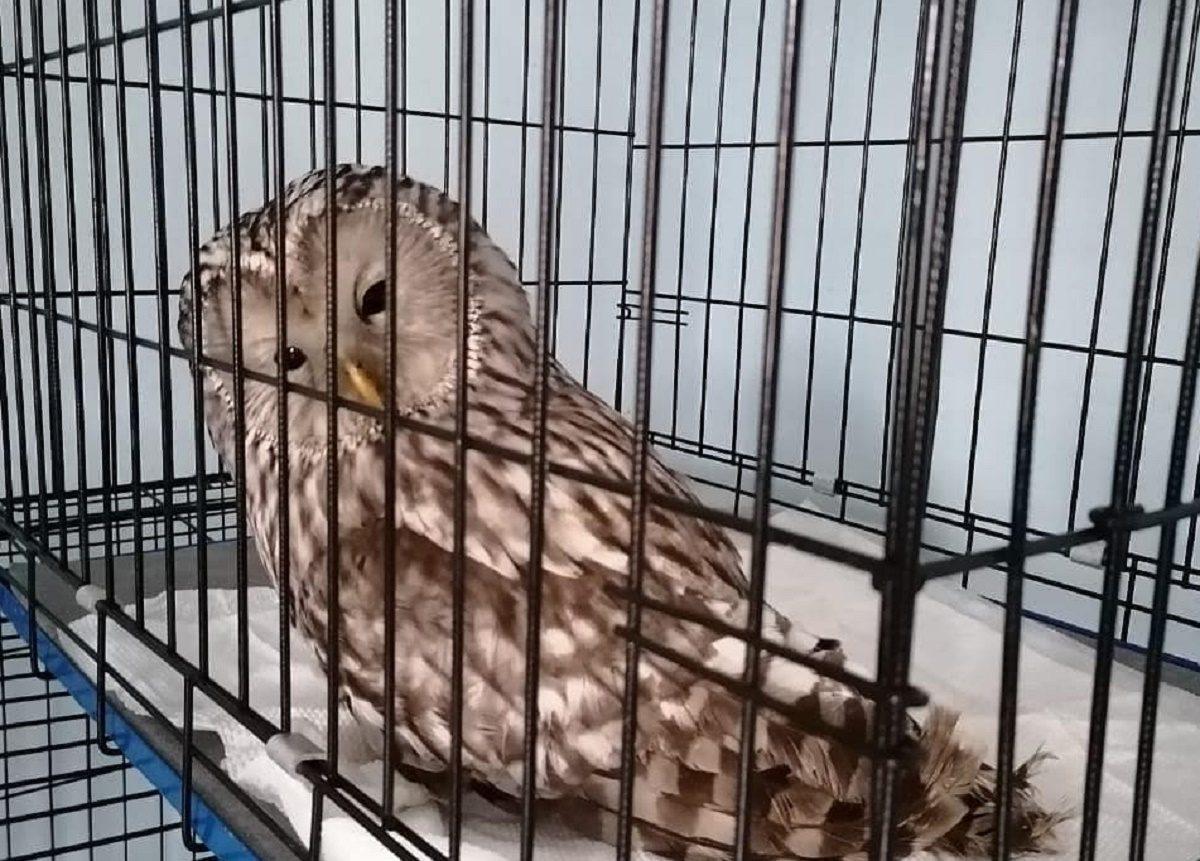 Житель Сарова спас сову от стаи ворон