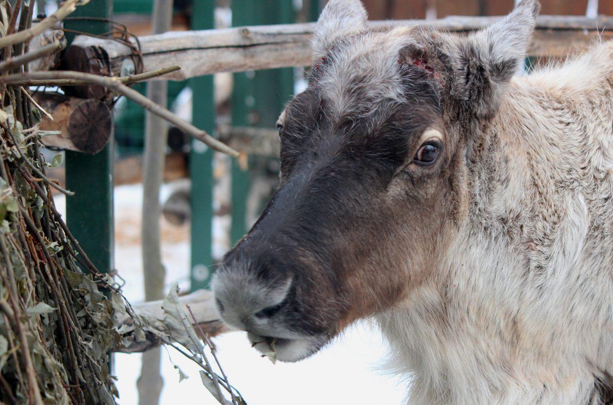 Фото дня: Северный олень сбросил рога в нижегородском зоопарке «Лимпопо»