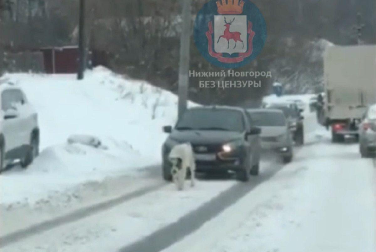 Из-за собаки, гулявшей на проезжей части в Нижнем Новгороде, образовалась пробка